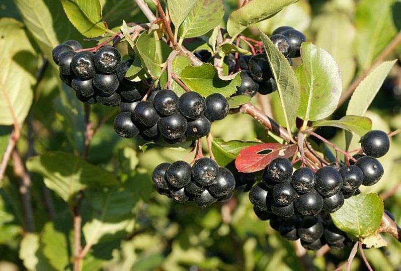 Размножение черной рябины семенами