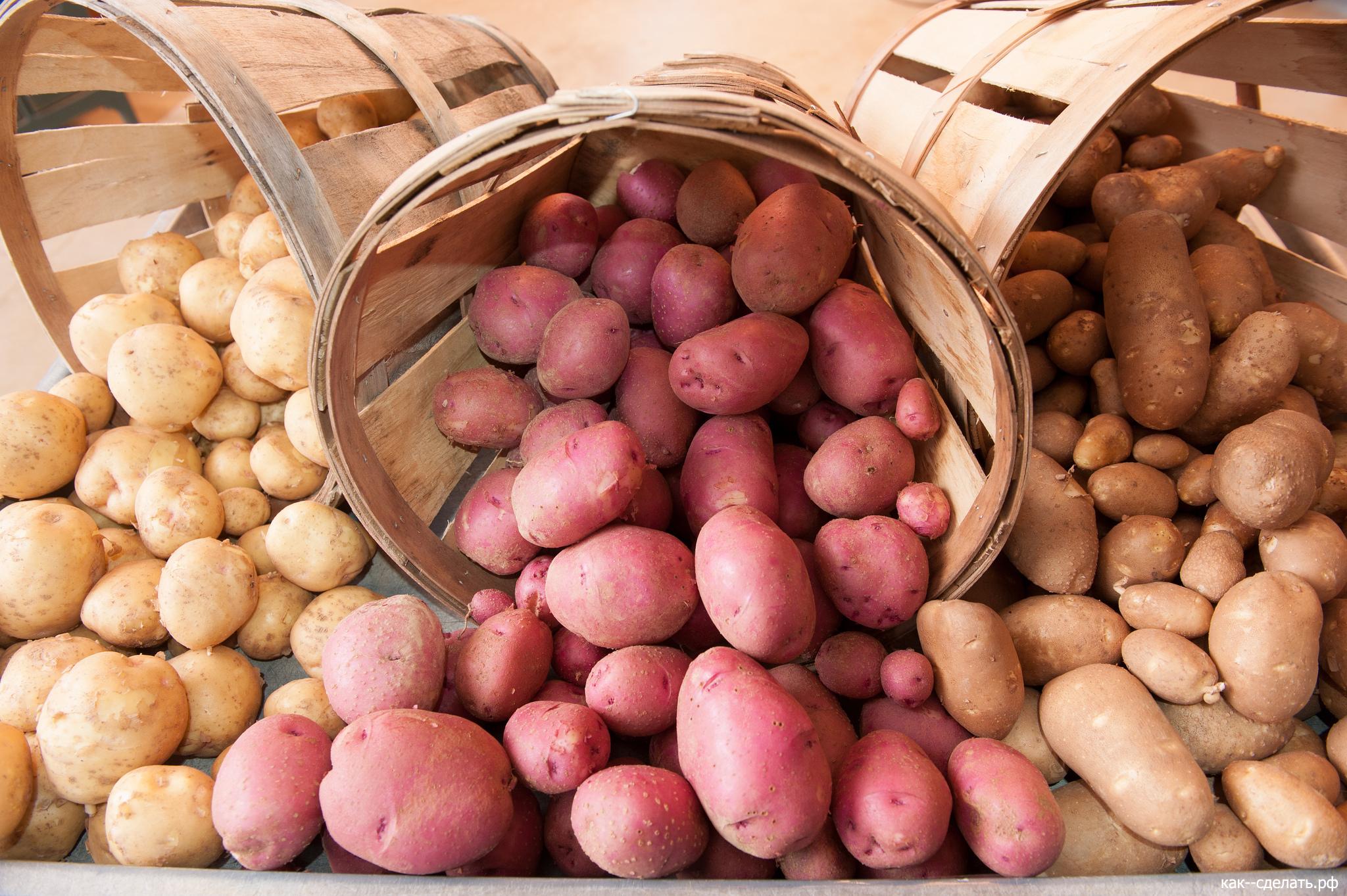 Картошкина наука: мои любимые сорта и секреты большого урожая картофеля