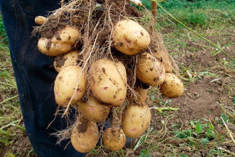 Предпочтения картофеля: что любит а что не переносит картошка