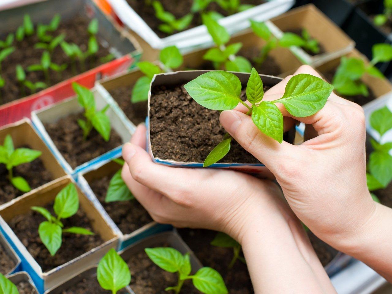 Воспитание рассады: секреты здоровья будущего урожая