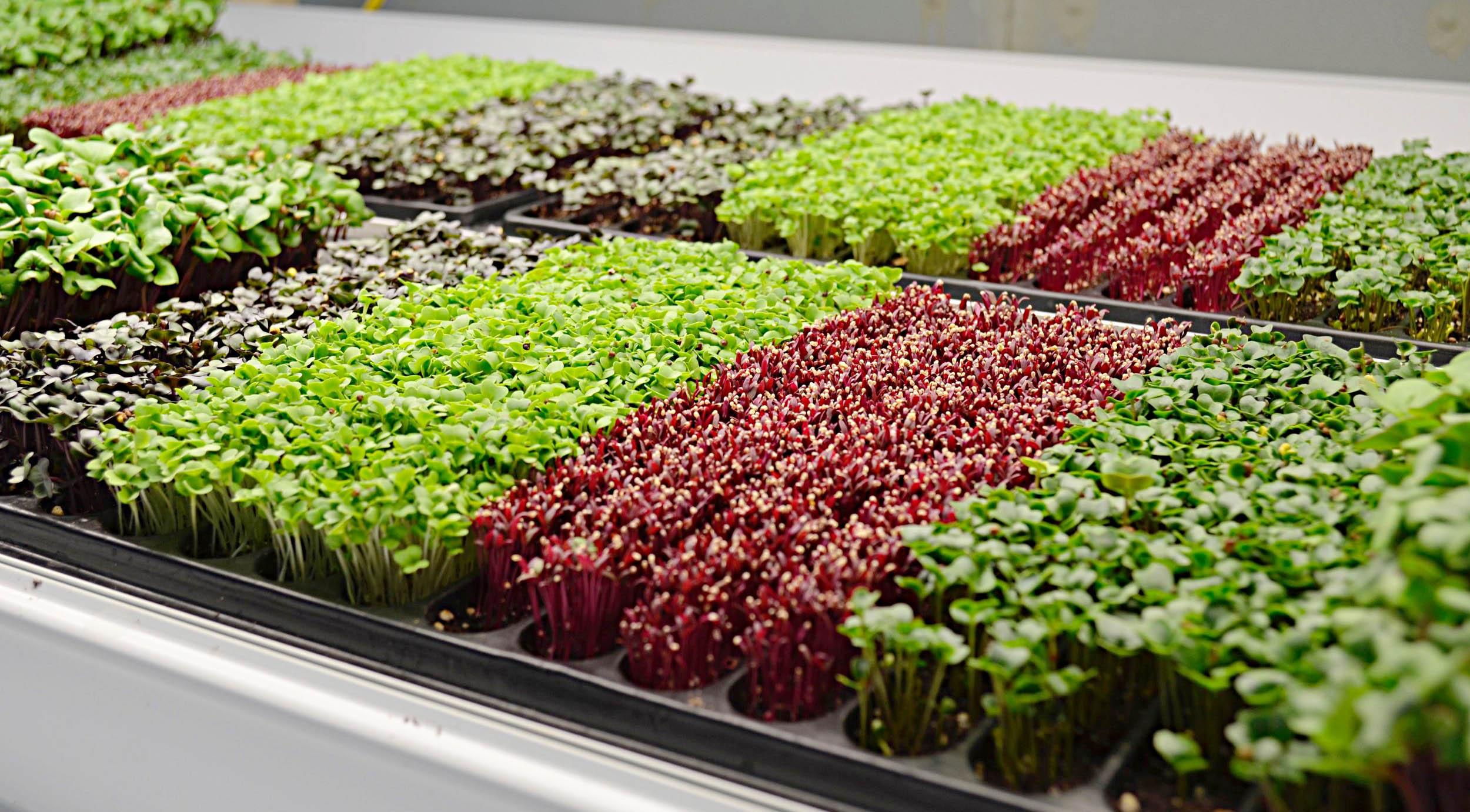 Овощное конфетти: выращиваем микрозелень круглый год