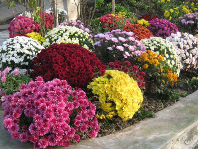 Хризантемы - фаворитки осени