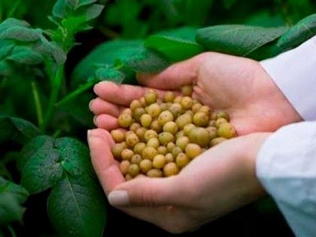 Картофель из семян: реальный опыт выращивания