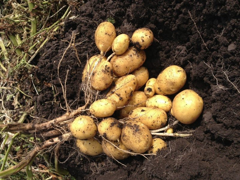 Картофель: 12 советов как получить супер-урожай