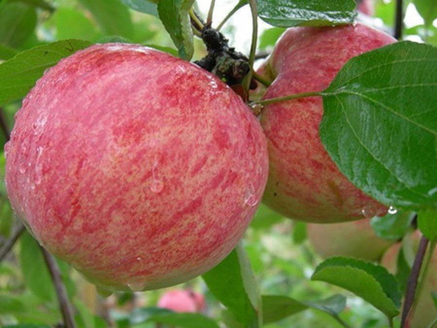 Петровское десертное - старинный, редкий сорт яблок