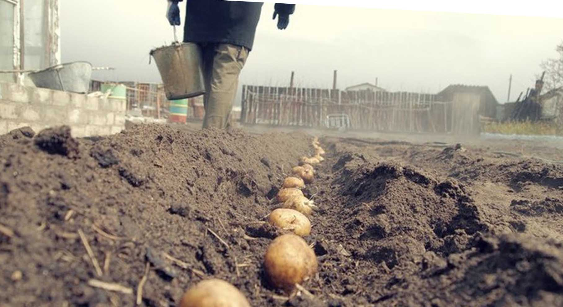 Штрафуют ли за посадку своего картофеля?