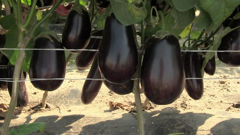 Как получить максимально большой урожай баклажанов