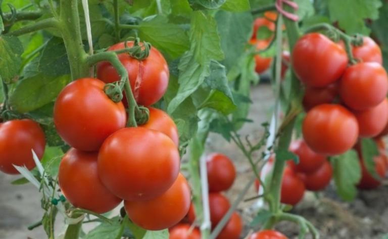 Предпочтения и капризы томатов