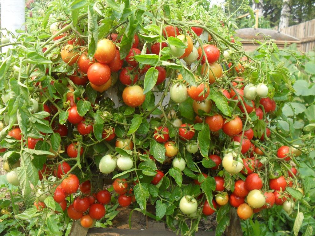Перегнивший навоз: незаменимое лакомство для томатов