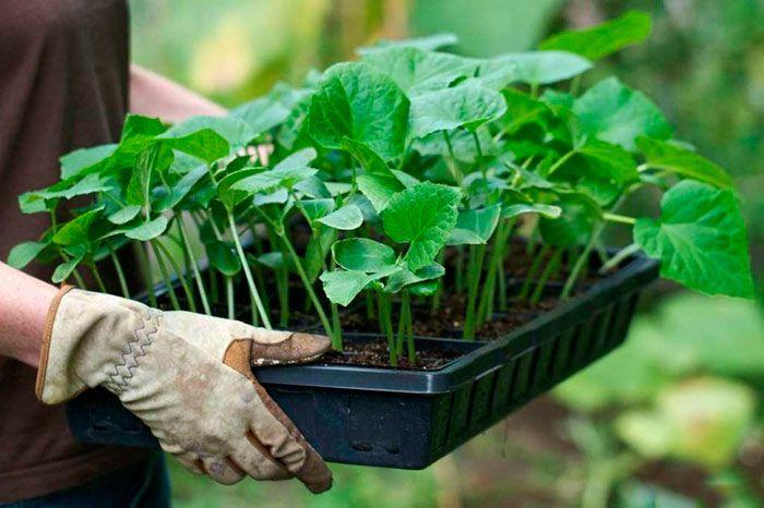Рассада кабачков и тыкв: особенности полива и питания