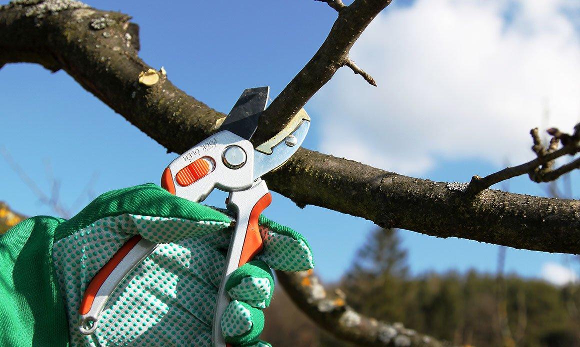 Как обрезать обмерзшие деревья?