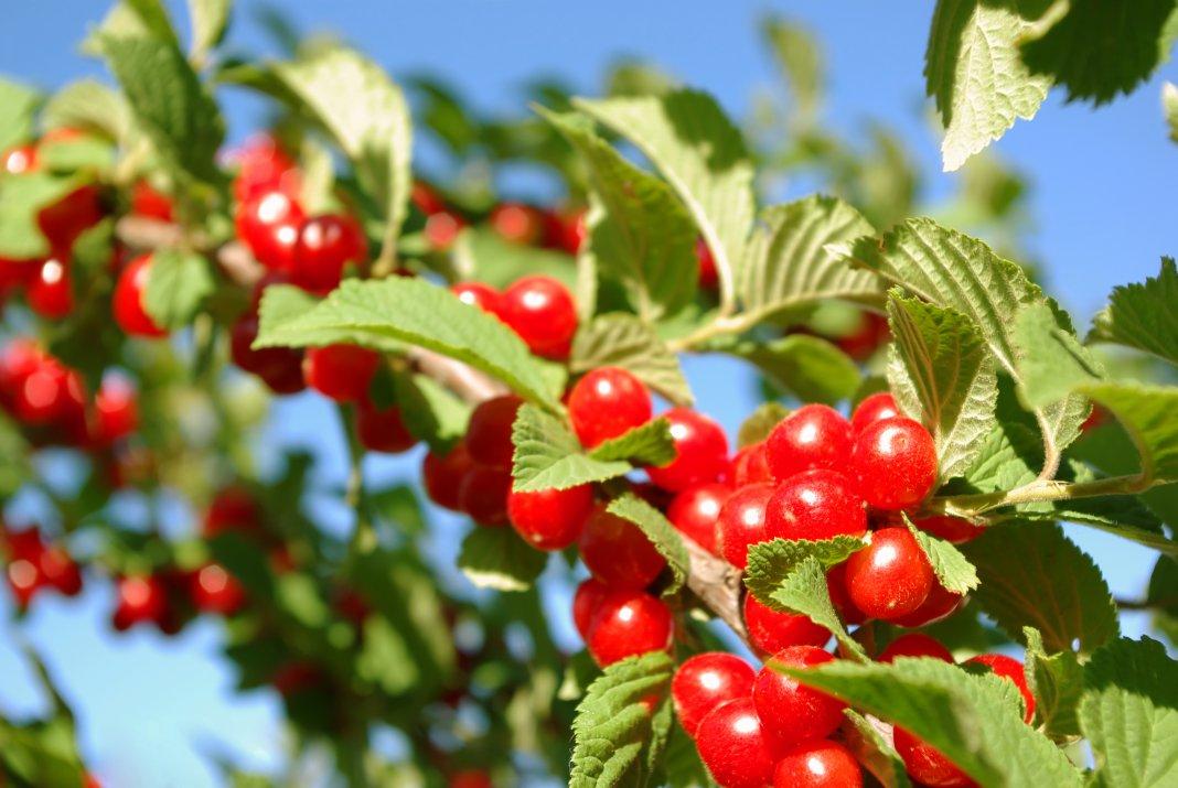 Проблемы войлочной вишни