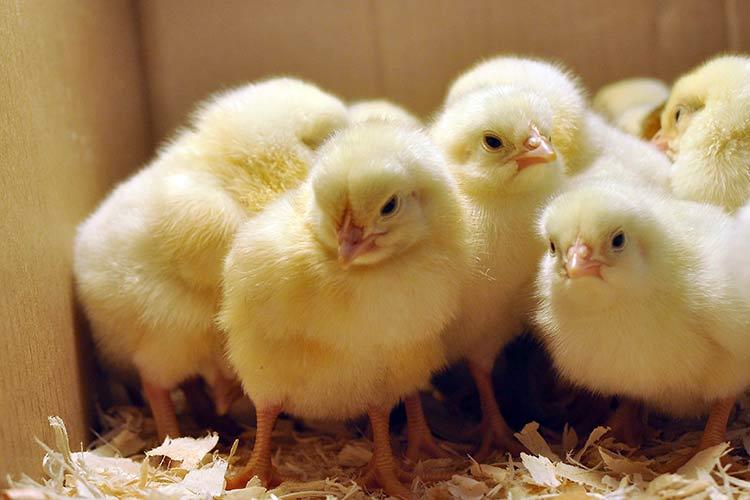 Цыплята нуждаются в тепле