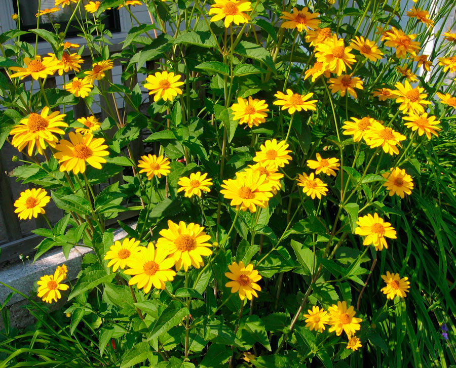 Гелиопсис - солнышко в цветнике