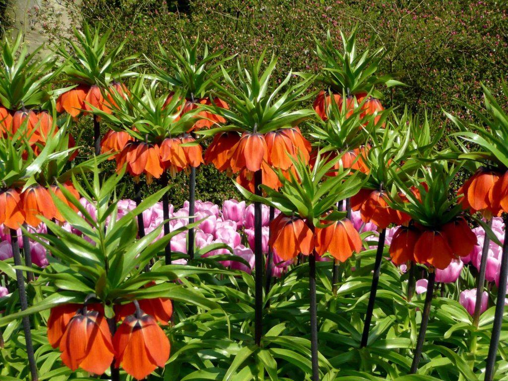 Рябчик императорский - роскошное растение