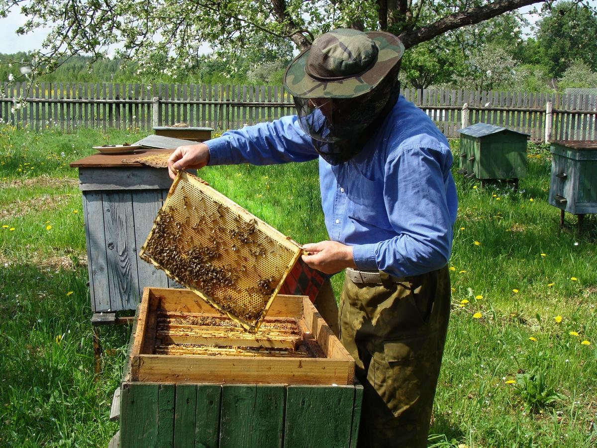 Рост пчелиных семей