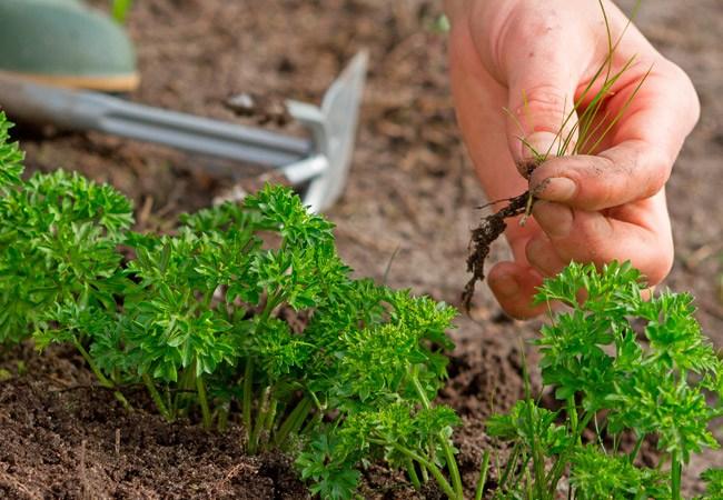 «Купание» семян улучшает всхожесть