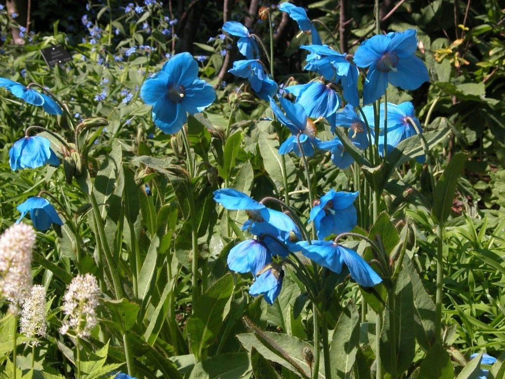 Голубой мак: особенности выращивания