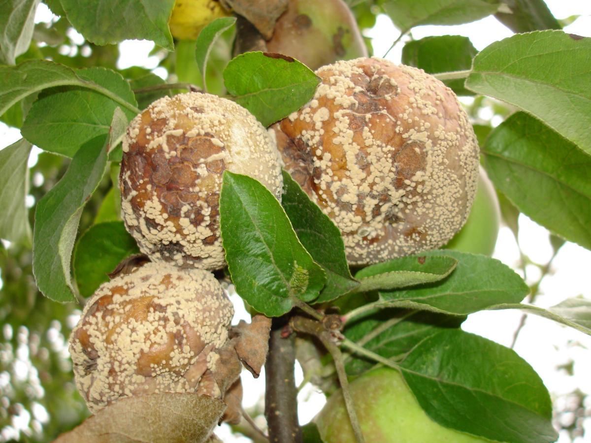 Монилиоз - эта коварная плодовая гниль