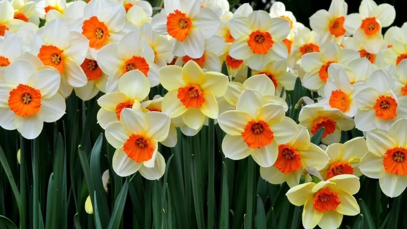 Нарциссы - солнечный привет весны