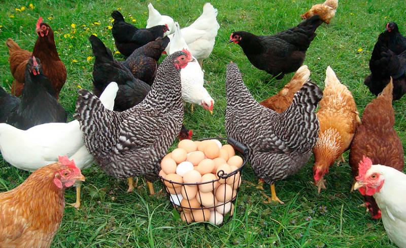Чтобы яйца были вкусными