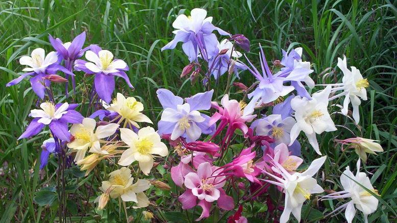 Аквилегия: выращивание в саду и уход