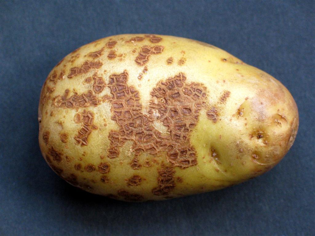 Парша на картофеле: профилактика и борьба с заболеванием