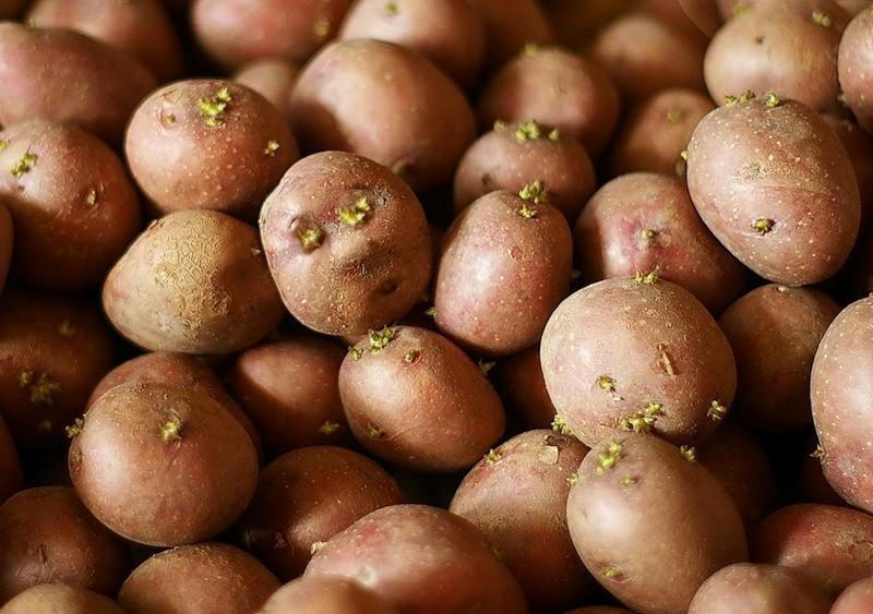 Картофель: чем протравливать, лучше опрыскивать