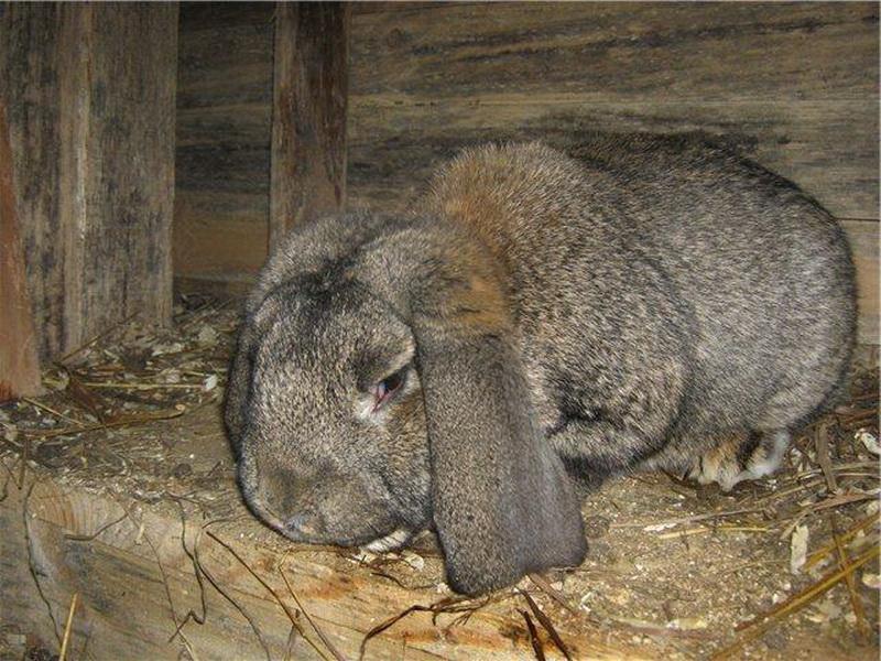 Если заболел кролик