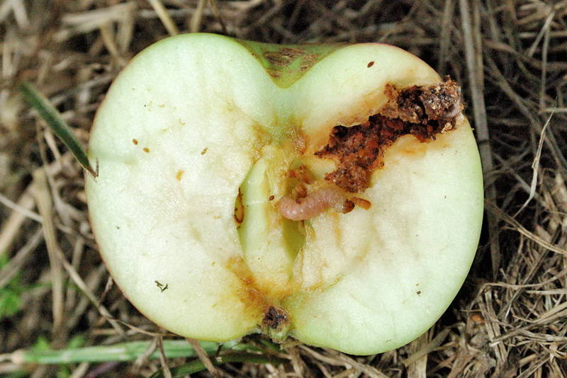 Полынь от плодожорки