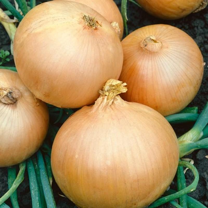 Чтоб лучок вырос с кулачок: советы опытного садовода