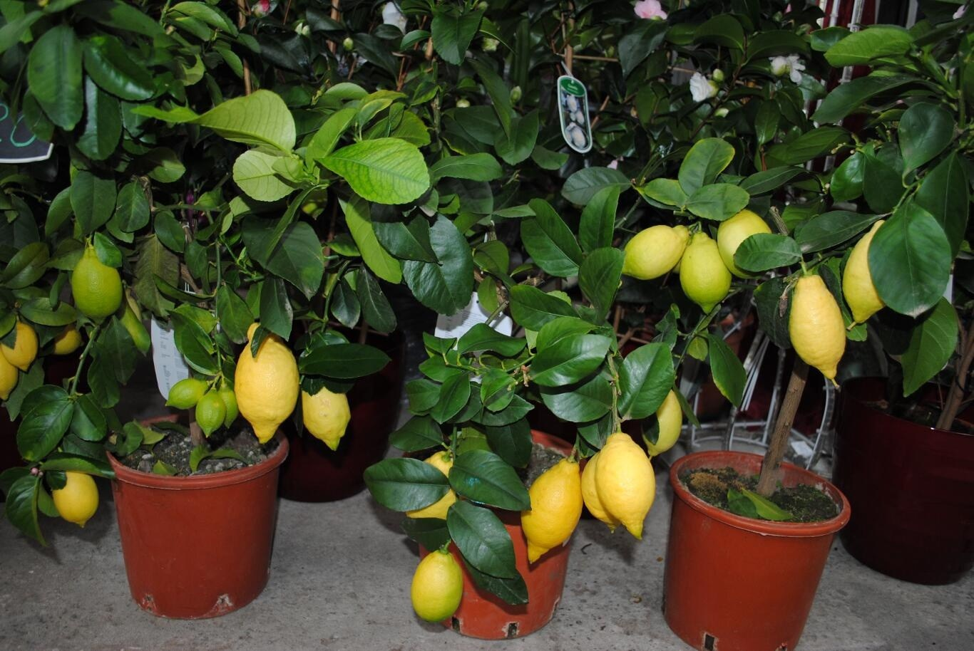 Выращиваем лимон дома: секреты агротехники