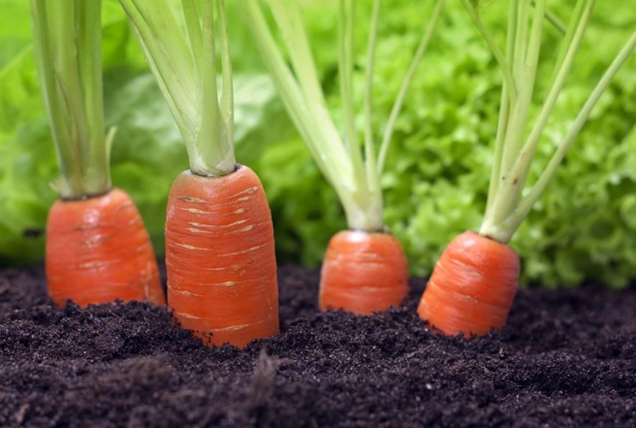 Чтобы морковь выросла здоровой