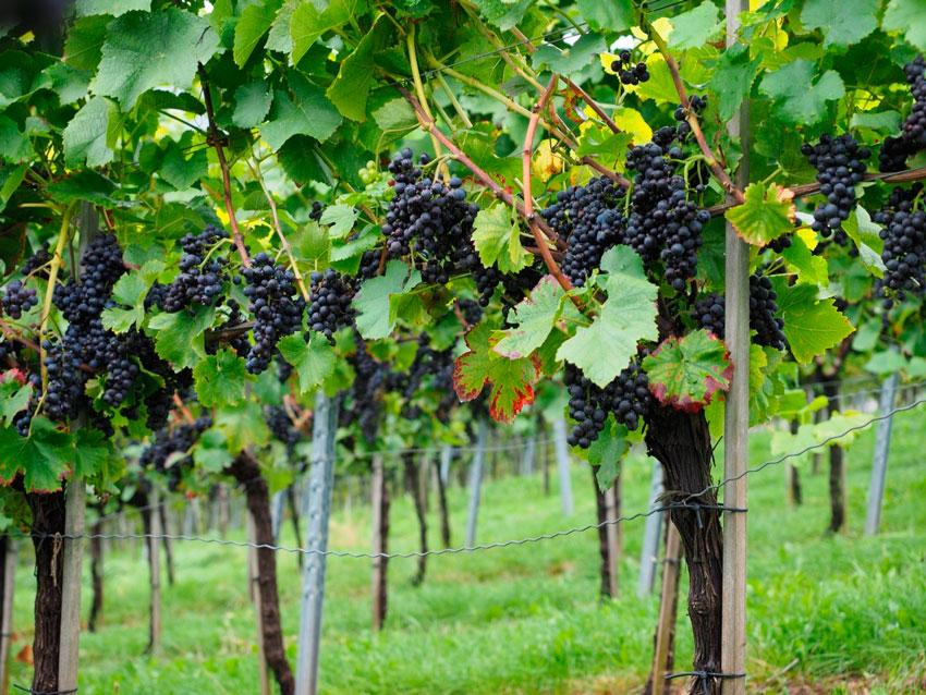 Винограду нужна органика