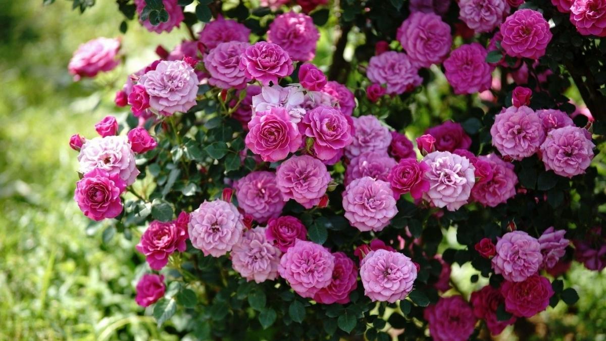 Роза для бордюра: разбираемся в тонкостях