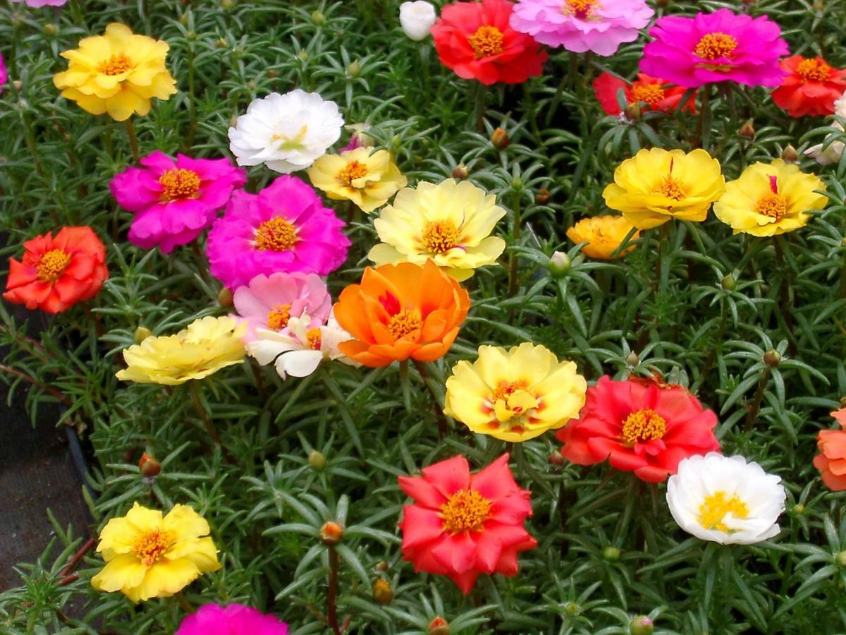 Портулак крупноцветковый - посадил и забыл
