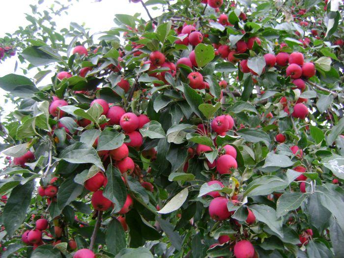 Как спасти яблони