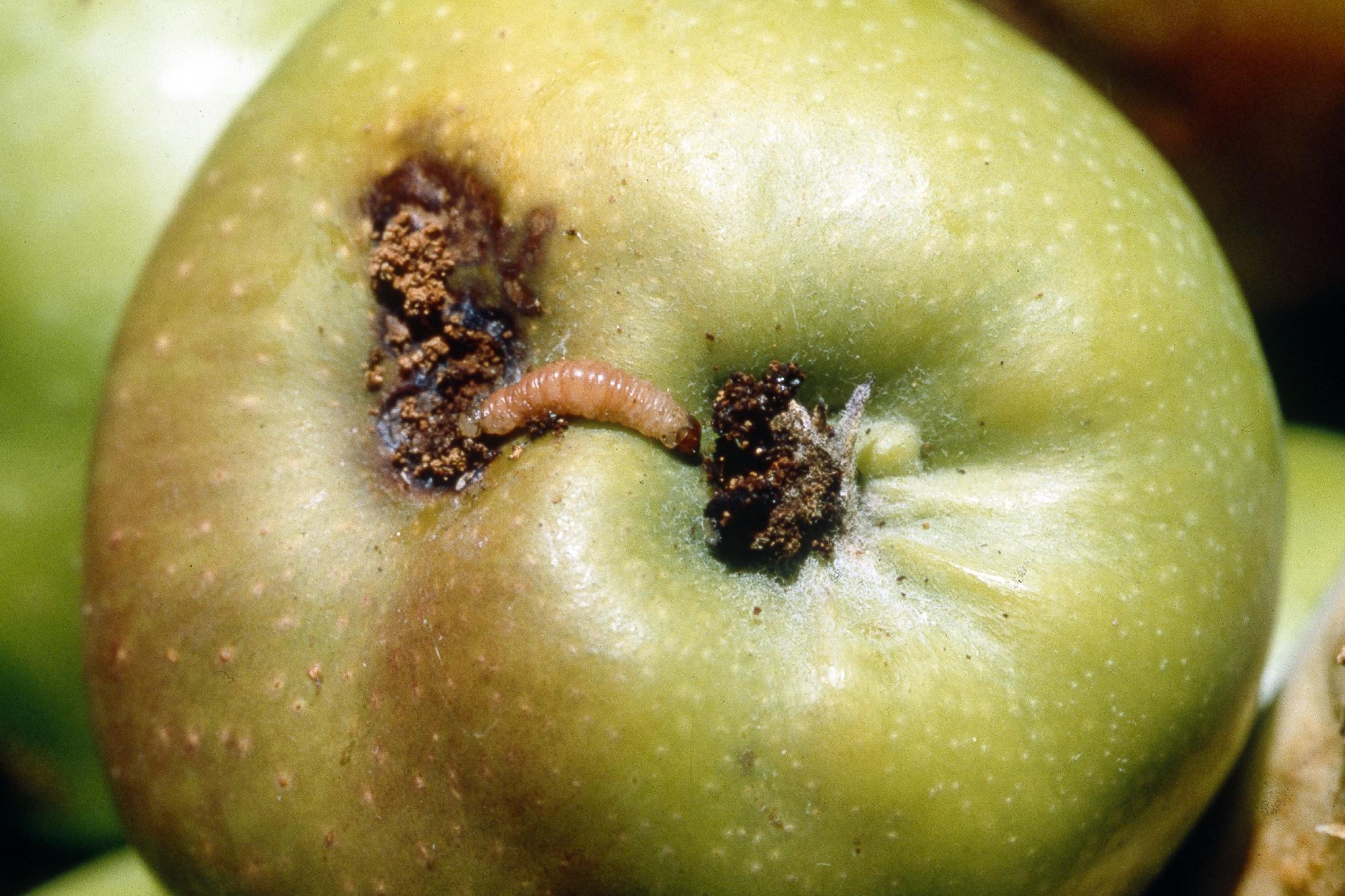 Как перехитрить плодожорку