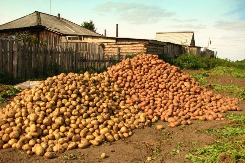 Картофель удается всегда