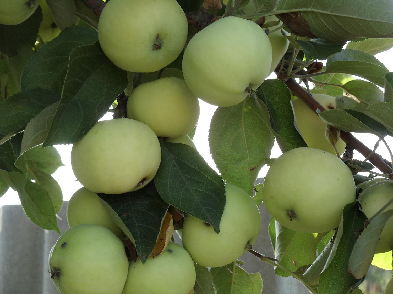 Яблони Белый налив и Бумажное