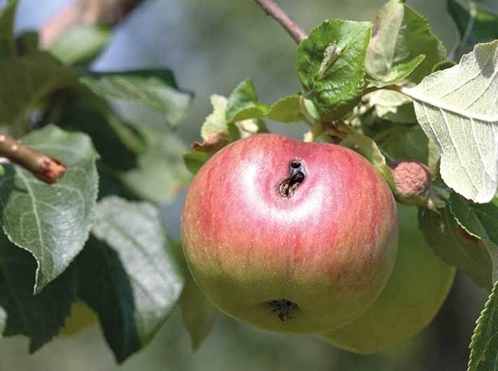 Ловушка для плодожорки