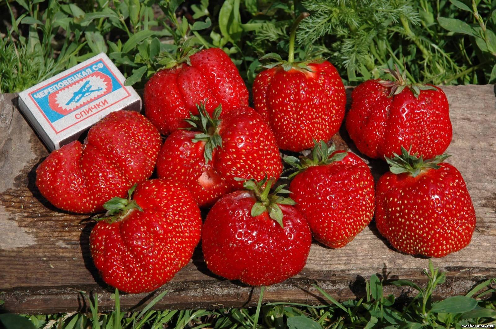 Земляника садовая: маленькие секреты большого урожая