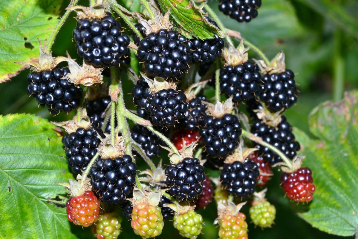 Урожайная ягода ежевика