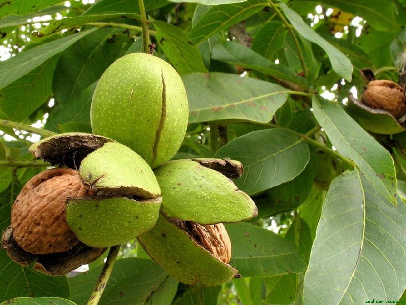 Грецкий орех - растение пластичное
