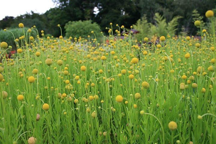 Цефалофора - земляничная трава