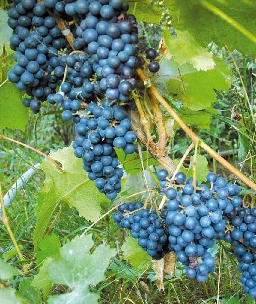 Какой виноград посадить в северных регионах
