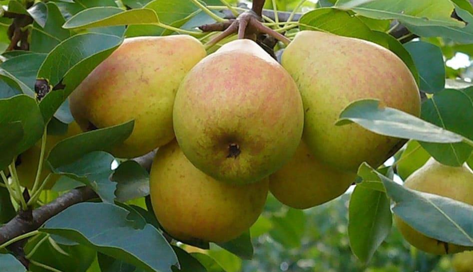 Букетное плодоношение груши. В чем причина?