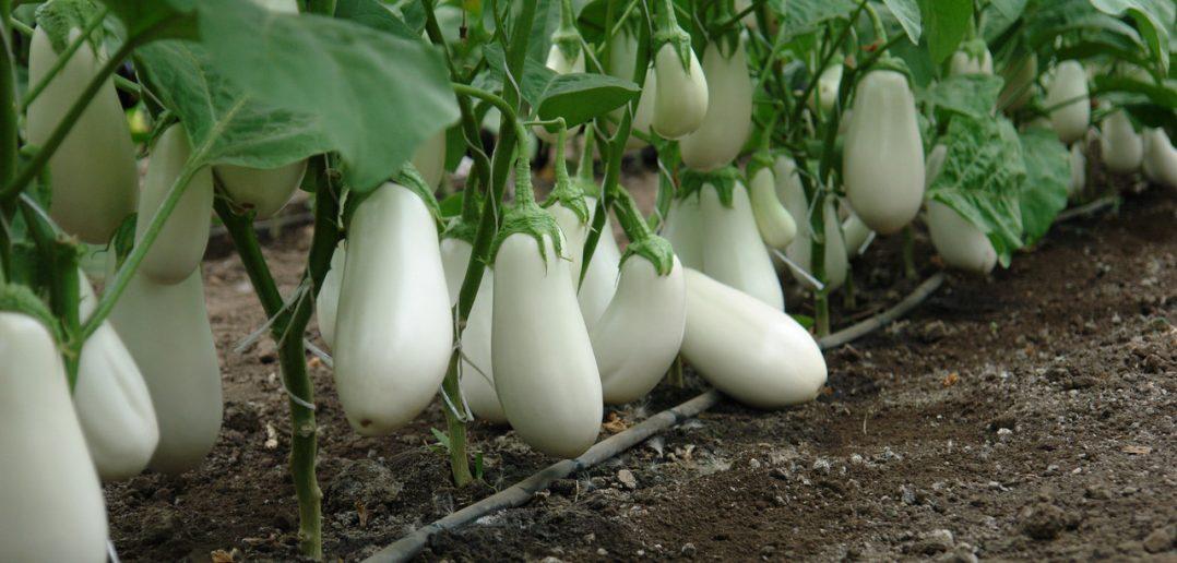 Очень вкусный белый баклажан