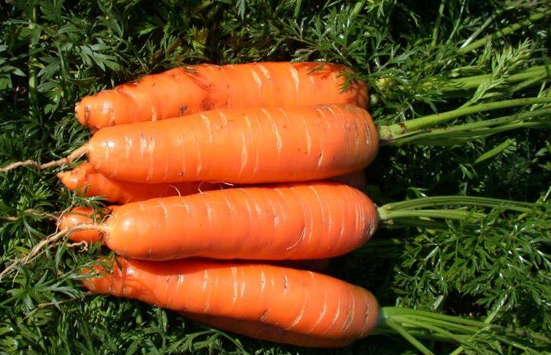 Морковь всегда радует урожаем