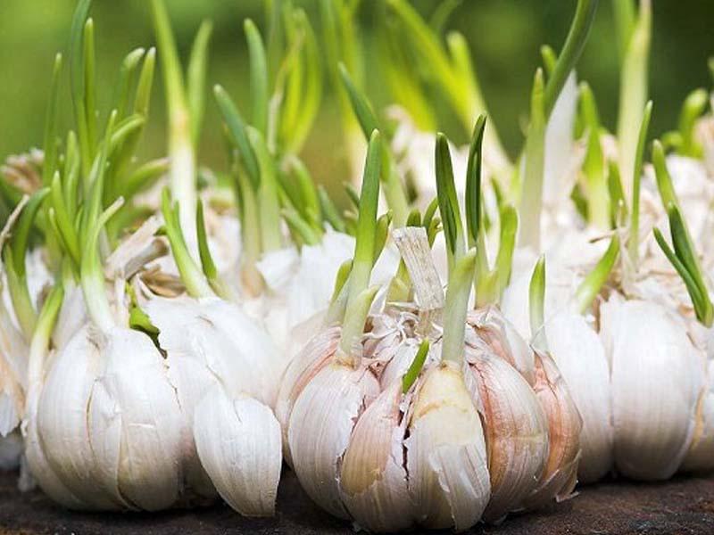 Посадите чеснок, проросший не в срок